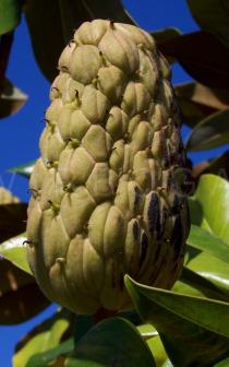 Magnolia grandiflora - Unripe fruit - Click to enlarge!