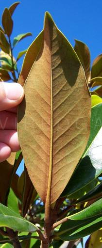 Magnolia grandiflora - Leaf lower side - Click to enlarge!