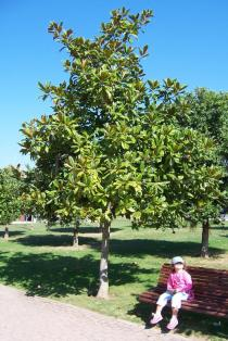Magnolia grandiflora - Habit - Click to enlarge!