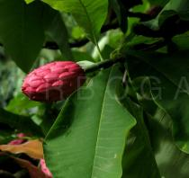 Magnolia tripetala - Fruit - Click to enlarge!
