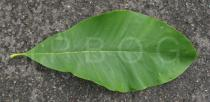 Magnolia tripetala - Upper surface of leaf - Click to enlarge!