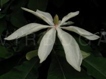 Magnolia tripetala - Flower - Click to enlarge!