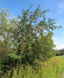 Malus domestica - Habit of fruiting tree - Click to enlarge!
