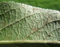 Malus domestica - Lower surface of leaf, close-up - Click to enlarge!