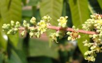 Mangifera indica - Flowers - Click to enlarge!