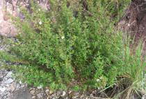 Marcetia taxifolia - Habit - Click to enlarge!