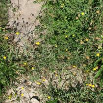 Matricaria aurea - Habit - Click to enlarge!