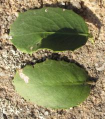 Maytenus rigida - Upper and lower surface of leaves - Click to enlarge!