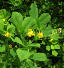 Medicago polymorpha - Foliage and flowers - Click to enlarge!