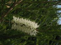 Melaleuca armillaris - Inflorescence - Click to enlarge!