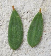 Melaleuca nesophila - Upper and lower surface of leaf - Click to enlarge!