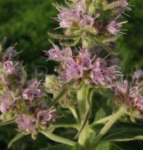 Mentha longifolia - Flowers - Click to enlarge!