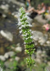 Mentha suaveolens - Inflorescence - Click to enlarge!