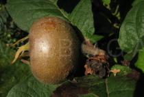 Mespilus germanica - Fruit, close up - Click to enlarge!