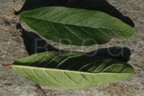 Mespilus germanica - Upper and lower surface of leaf - Click to enlarge!