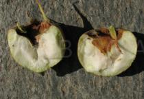 Mespilus germanica - Fruit, divided in halves - Click to enlarge!