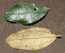 Miconia ferruginata - Upper and lower surface of leaf - Click to enlarge!