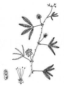 Mimosa pudica - Click to enlarge!