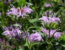 Monarda fistulosa - Infructescences, side view - Click to enlarge!