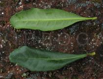 Morella faya - Upper and lower side of leaf - Click to enlarge!