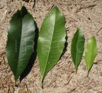 Morella faya - Upper and lower surface of leaves - Click to enlarge!