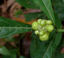 Morinda angustifolia - Fruit - Click to enlarge!