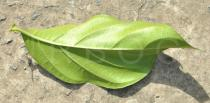 Morinda citrifolia - Lower surface of leaf - Click to enlarge!