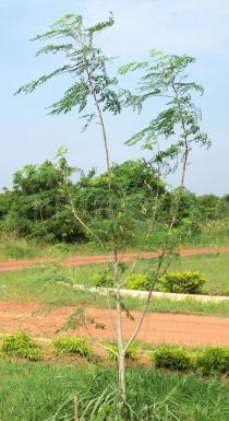 Moringa oleifera - Habit of young solitary tree - Click to enlarge!
