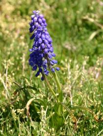 Muscari armeniacum - Habit - Click to enlarge!