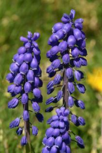 Muscari armeniacum - Inflorescences - Click to enlarge!