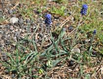 Muscari neglectum - Habit - Click to enlarge!