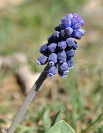 Muscari neglectum - Inflorescence - Click to enlarge!