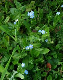 Myosotis scorpioides - Habit - Click to enlarge!