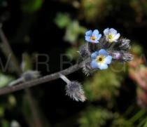 Myosotis stricta - Inflorescence - Click to enlarge!