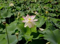 Nelumbo nucifera - Flower, Habit - Click to enlarge!