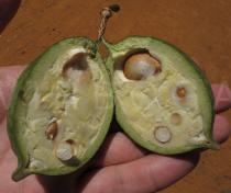Neocalyptrocalyx longifolium - Ripening fruit in cross section - Click to enlarge!