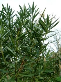 Nerium oleander - Leaves - Click to enlarge!