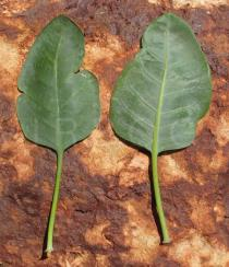 Nicotiana glauca - Upper and lower surface of leaves - Click to enlarge!