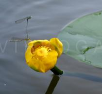 Nuphar lutea - Flower - Click to enlarge!