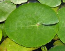 Nymphoides peltata - Upper surface of leaf - Click to enlarge!