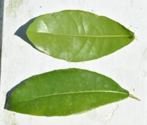 Ochna integerrima - Upper and lower surface of leaf - Click to enlarge!