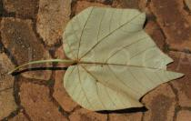 Ochroma pyramidale - Lower surface of leaf - Click to enlarge!