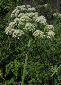 Oenanthe pimpinelloides - Umbell, side view - Click to enlarge!