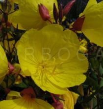 Oenothera fruticosa - Flower - Click to enlarge!