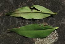 Oenothera fruticosa - Upper and lower surface of leaf - Click to enlarge!