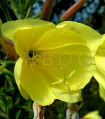 Oenothera glazioviana - Flowers close-up - Click to enlarge!