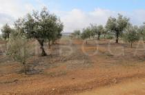 Olea europaea - Old plantation recently equipped with irrigation and interplanted with young trees - Click to enlarge!