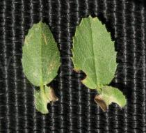 Ononis spinosa - Upper and lower surface of leaf (note that fully developed leaves are trifoliate) - Click to enlarge!