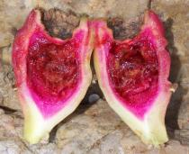 Opuntia littoralis - Fruit cross section - Click to enlarge!