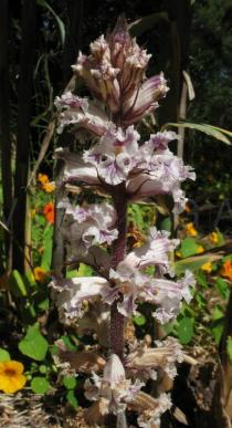 Orobanche crenata - Inflorescence - Click to enlarge!